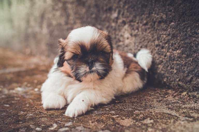 Shih Tzus with Furry Coat