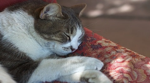 Can a Cat Get Pregnant While Nursing?
