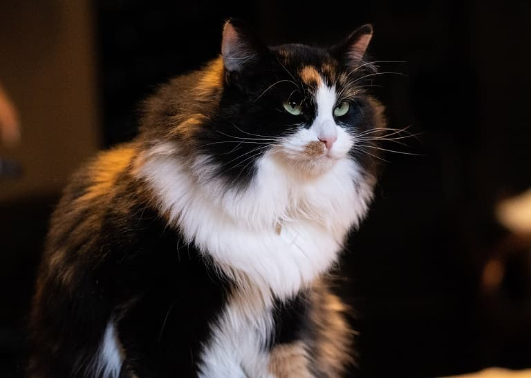 How Do I Care for My Cat When She is Pregnant