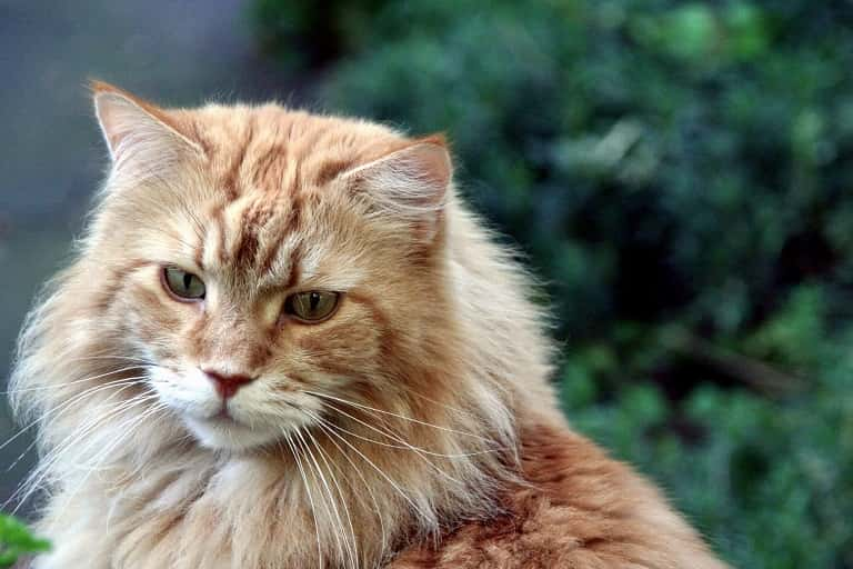 Where Can I Get a Maine Coon