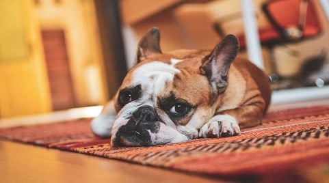 Why Do Dogs Dig at Carpet?
