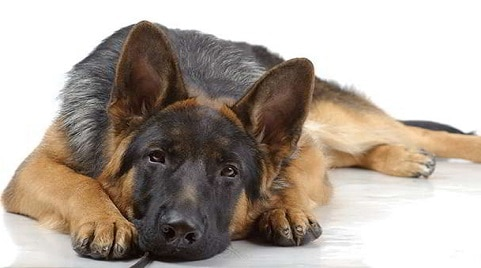 How to Prevent Hip Dysplasia in German Shepherds?