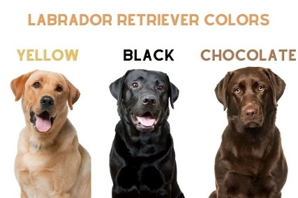 12 Common and Rare Labrador Retriever Colors