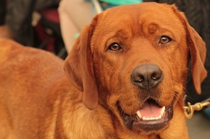 Fox Red Labrador Retriever : What You Should Know About the Fox-Red Labradors