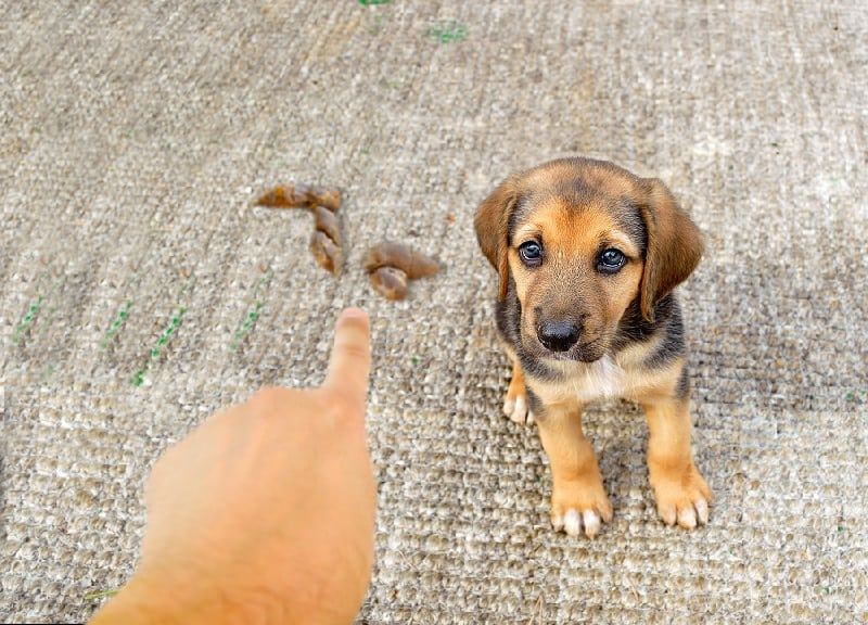 how to discipline a puppy for pooping in the house