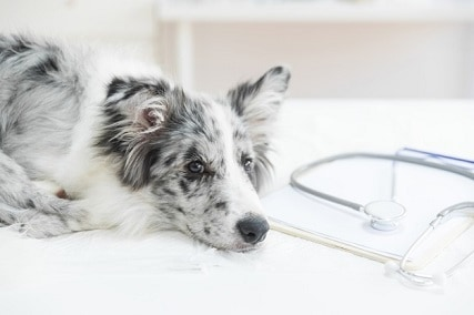 How to Get Rid of Hookworms in Dogs Fast