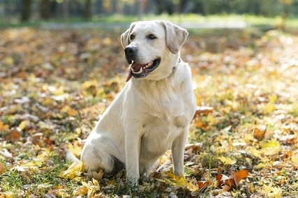 Labrador Retriever Behavior by Age : 10 Character Traits