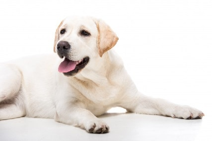 Labrador Retriever Coat Type and How to Properly Care for it