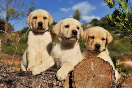 How to Take Care of a Labrador Retriever Puppy?