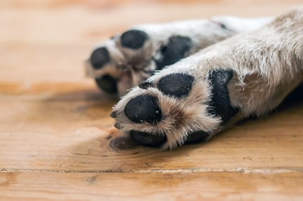 Labrador Retriever Webbed Feet – What Is It?