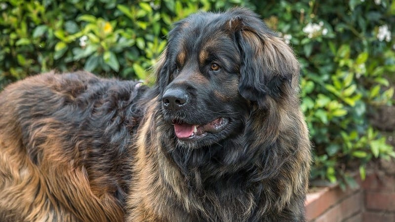 Large dogs are more prone to laryngeal paralysis as they age