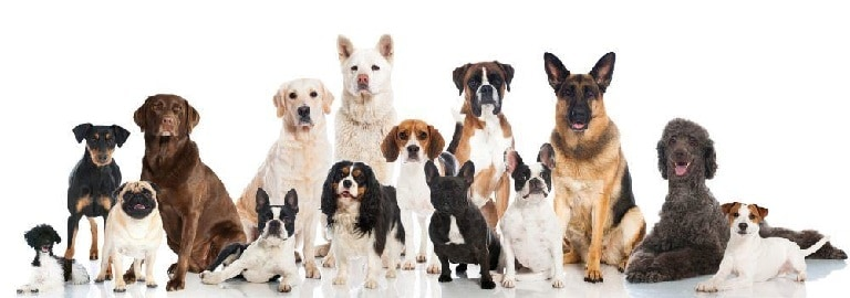 what is the life expectancy of a labrador retriever