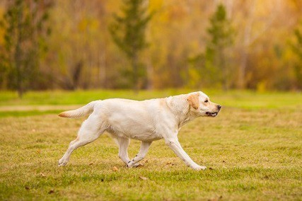 Where Did the Labrador Retriever Come From?