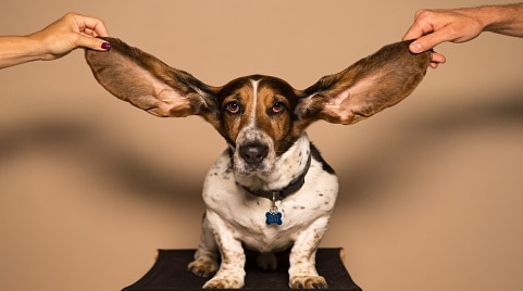 How to Make A Dog's Ears Stand Up?