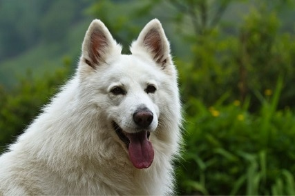 Are White German Shepherds Rare?