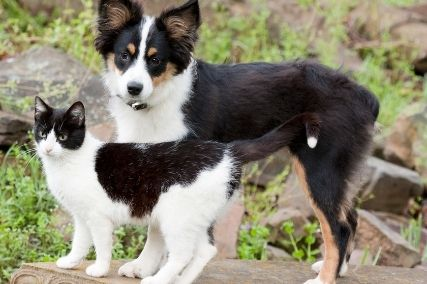 Australian Shepherd and Cats: Foe or Friend?