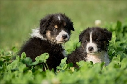 4 Helpful Tips in Training an Australian Shepherd Puppy