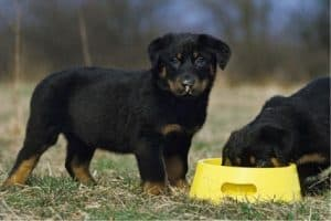 6 Best Food for Rottweiler Puppy and Adult [2021 Reviews]