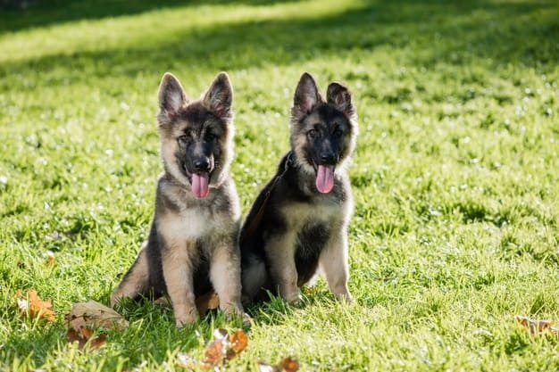 how to pick a good German Shepherd puppy