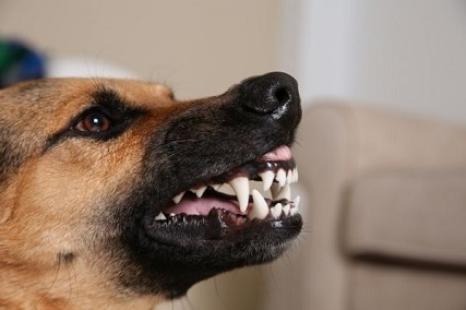 Why does a German Shepherd Snarl?
