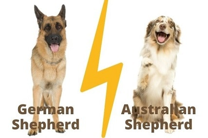 German Shepherd vs Australian Shepherd: Comparing the Good and the Bad
