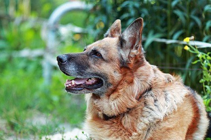 How Old do German Shepherds Live and How to Increase Their Life Span?