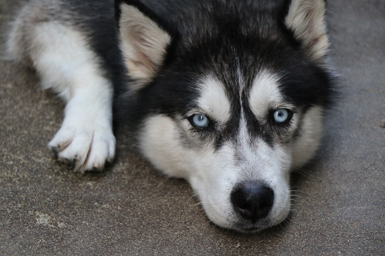 how to deal with an aggressive husky
