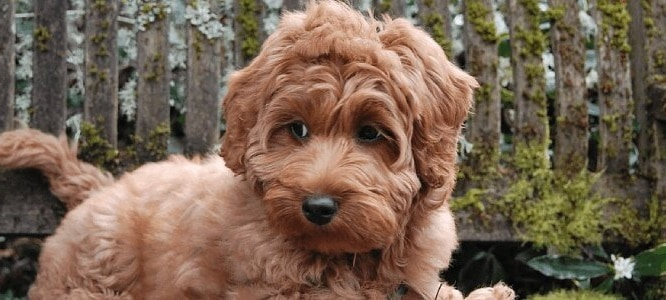 how to groom a labradoodle with fleece coat