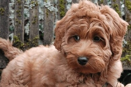 How to Groom a Labradoodle with Fleece Coat Perfectly