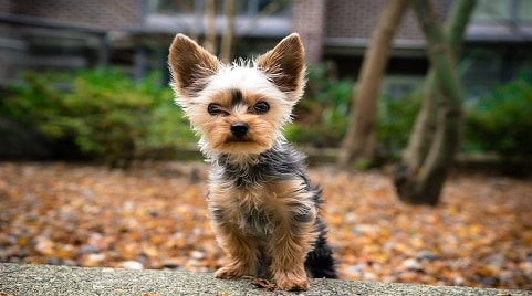 How to Train A Teacup Yorkie?
