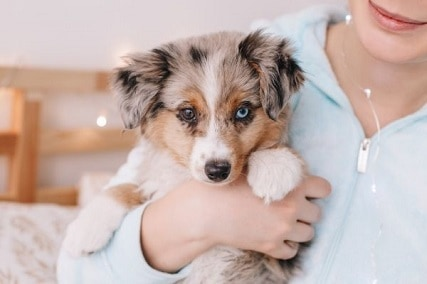 12 Miniature Australian Shepherd Health Problems and Caution