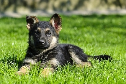 How to Pick a Good German Shepherd Puppy for Sure