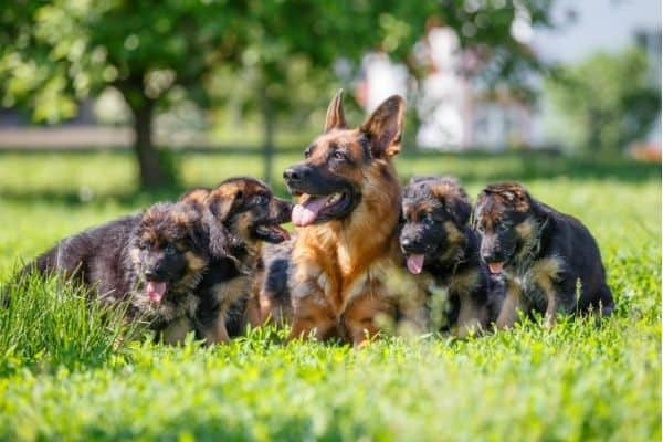 what are german shepherds bred for