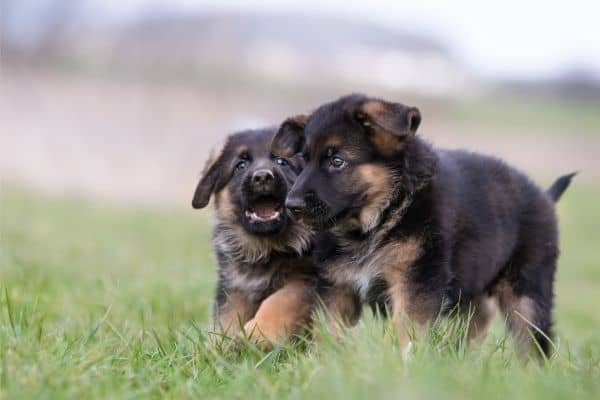 when does a german shepherd's ears stand up