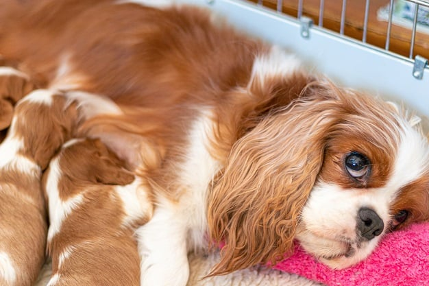 how to know if your dog is in labor