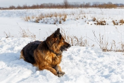 Ultimate Guide to German Shepherd Cold Tolerance