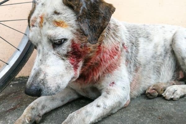 how to stop a dog's ear from bleeding