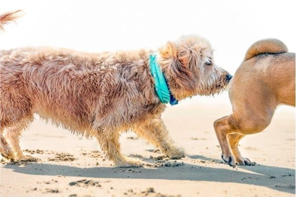 how to stop a male dog from smelling a female in heat