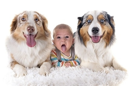 Is the Australian Shepherd Good with Kids?