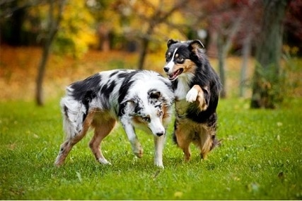 Working Australian Shepherd vs Show – Which is a Better Choice?