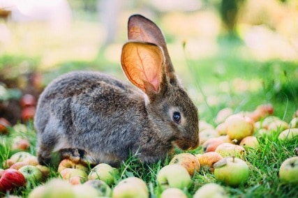 Can Rabbits Eat Apples? Pros and Cons of Apples in Their Diet