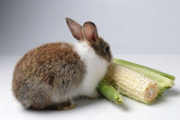 can rabbits eat corn