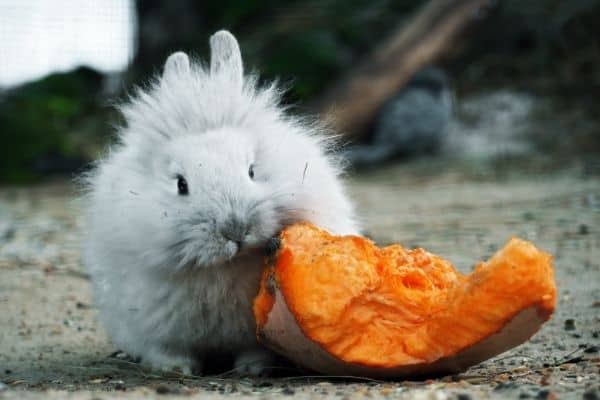 can rabbits eat pumpkin seeds