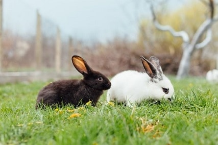 Domesticated vs Wild : How Long Do Rabbits Live?