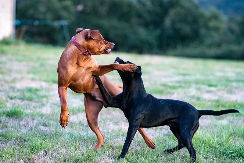 Dog Fights - Common Triggers