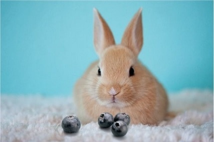 Can Rabbits Eat Blueberries? 8 Facts You Must Know!