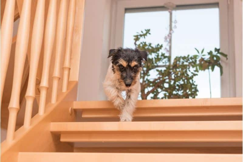 can my dog walk around the house after being neutered