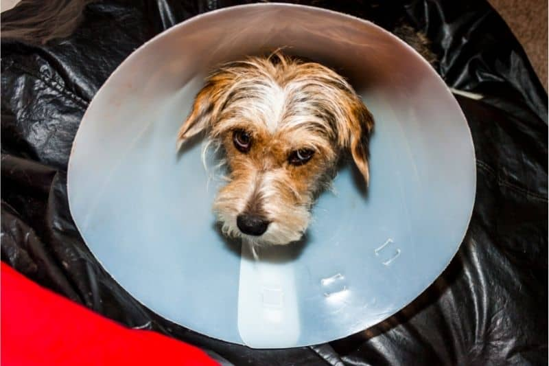 how do you know if your dog's stitches are healing