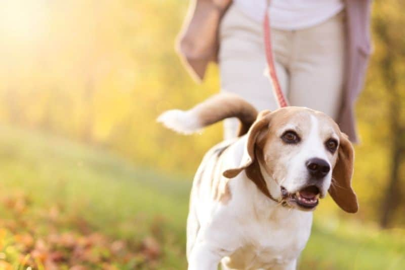 how far can I walk my dog after neutering