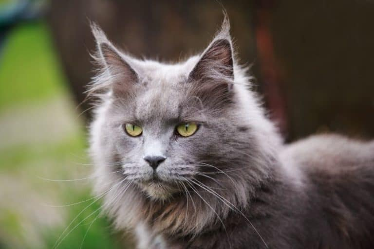 How Long Do Maine Coon Cats Live and How to Prolong Their Lifespan?
